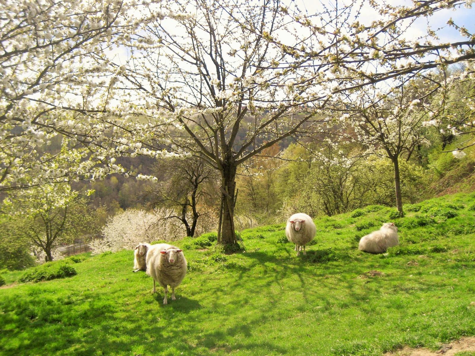 Kirschbaum Wiese  in Sobrigau